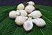 Muda Frutinha de Leite ( Cordia taguahyensis ) - Imagem 1