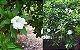 Muda Frutinha de Leite ( Cordia taguahyensis ) - Imagem 4