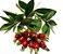 Muda Cereja do Cerrado Vermelha ( Eugenia calycina ) - Imagem 3