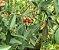 Muda Cereja do Cerrado Vermelha ( Eugenia calycina ) - Imagem 4