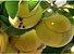 Muda Maçã-de-elefante fruta exótica - Imagem 1
