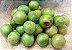 Muda Umbu Fruteira da Caatinga - Imagem 1