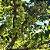 MUDA GROSELHA DA ÍNDIA ou STAR GOOSEBERRY - Imagem 2