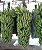Mudas de Banana Nanica, d´Água ou Caturra – Clone Grand Naine - Imagem 2