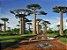 Muda De Baobá Africano - Adansonia Digitata - Imagem 4