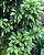 Muda Cryptomeria japonica 'Pipo' - Imagem 3