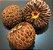 Muda de Marolo ou Cabeça-de-negro - Annona Crassiflora - Imagem 2