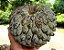 Muda de Marolo ou Cabeça-de-negro - Annona Crassiflora - Imagem 1