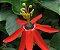 Muda Passiflora Vermelho - Passiflora racemosa - Imagem 1