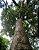 Muda  canela-preta  Ocotea catharinensis  - Imagem 1