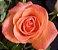 Muda Rosa Salmão Enxertada  - Imagem 1