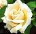 Muda Rosa Champanhe  Enxertada Preste a dar flor - Imagem 1