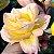 Muda Rosa Amarela Mesclada Enxertada Preste a dar flor - Imagem 1