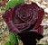 Muda Rosa Principe  Negro Enxertada Preste a dar flor - Imagem 1