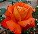 Muda Rosa Laranjada Enxertada Preste a dar flor - Imagem 1