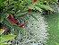 kit 5 mudas  De Dianela ( Dianella Tasmanica )  - Imagem 2