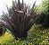 KIT 10 FORMIO ROXO (Phormium tenax rubrum) - Imagem 3