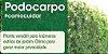 Muda Podocarpos  60cm - Podocarpus Macrophyllus - Imagem 4