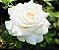 Muda Rosa Branca Enxertada Preste a dar flor - Imagem 1