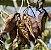 Muda perna-de-moça ou  braquiquito (Brachychiton populneus) exótico - Imagem 4