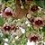 Muda perna-de-moça ou  braquiquito (Brachychiton populneus) exótico - Imagem 3