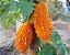 Muda Melão-de-são-caetano Medicinal- Exótca - Imagem 3