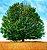 Muda de Carvalho Branco ou Europeu - Quercus Petraea - Imagem 2