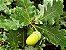 Muda de Carvalho Branco ou Europeu - Quercus Petraea - Imagem 1