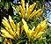 Muda de Flor de São João Amarela- RARO  - Imagem 1