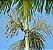 Muda de Palmito-juçara - Euterpe edulis - Imagem 1