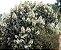 Muda Clerodendro Branco perfumado - Imagem 1