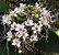 Muda Clerodendro Branco perfumado - Imagem 2