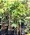 Muda jade branca clonada já da flor  - Imagem 2