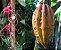 Muda Cacau Jacaré ou Carambola Marron – Herrania balaensis  - Imagem 1