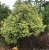 "Jabuticaba Paulista Variegata – Plinia cauliflora ""Variegata""-Enxertada - Imagem 2"