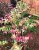 "Jabuticaba Paulista Variegata – Plinia cauliflora ""Variegata""-Enxertada - Imagem 1"