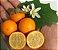 MUDA NARANJILLA ou LULO ( Solanum quitoense ) Para vaso - Imagem 1