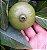 MUDA PURUÍ GRAÚDO ou MARMELADA de BEZERRO ( Alibertia edulis ) MUITO DOCE - Imagem 3