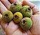 Muda Sete Capotes ( Campomanesia guazumifolia ) - Imagem 2