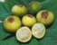Muda Sete Capotes ( Campomanesia guazumifolia ) - Imagem 3