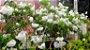 Muda Cipó Branco ou Cuspidária Branca ( Cuspidaria convoluta alba ) trepadeira  - Imagem 3