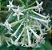 Muda Dama da Noite  – Cestrum nocturnum flor Branca - Imagem 1