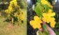 Muda Trepadeira Unha de Gato Flor Amarela   - Imagem 3