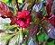 MUDA AZALÉIA RUBRA ( Rhododendron simsii ) Novidade No Brasil - Imagem 2