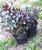 MUDA AZALÉIA RUBRA ( Rhododendron simsii ) Novidade No Brasil - Imagem 1