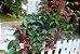 Muda da Flor Lágrima de Cristo Vermelha - Clerodendron Thomsoniae - Imagem 2