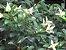 Muda Cereja Amarela do Rio Grande  ( Eugenia involucrata var. minutifolia ) NOVIDAIDE  - Imagem 2