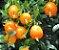 Muda Cereja Amarela do Rio Grande  ( Eugenia involucrata var. minutifolia ) NOVIDAIDE  - Imagem 1
