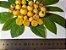 GUABIROBA do CERRADO ou do CAMPO( Campomanesia adamantium ) - Imagem 2
