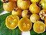 GUABIROBA do CERRADO ou do CAMPO( Campomanesia adamantium ) - Imagem 1